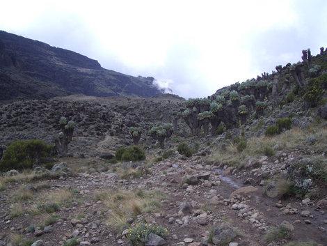 Роща сенеций на пути к лагерю Барранко. Высота 4000 м