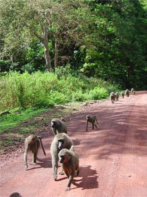 Группа бабуинов на марше