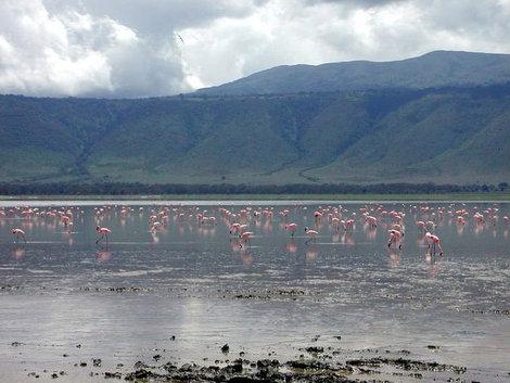 Розовые фламинго (В кратере Нгоро-нгоро)