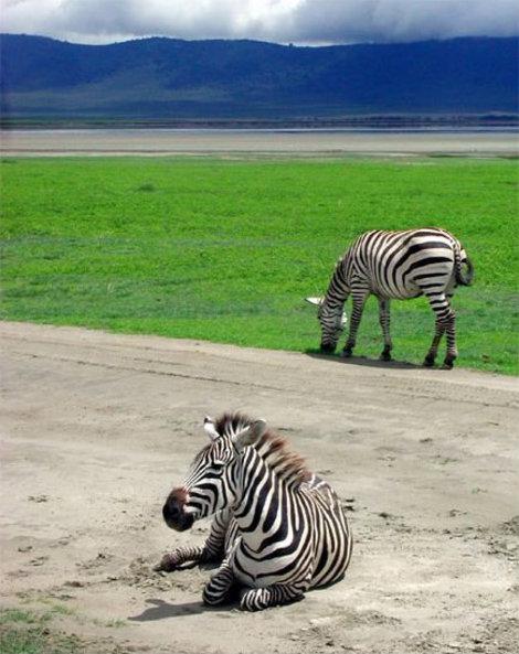 Тормози перед зеброй...