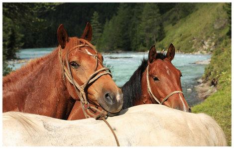 Внедорожная сила и красота алтая — лошади…