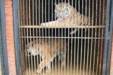 Тигры в клетке.