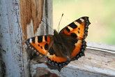 Летом в сени залетают бабочки.