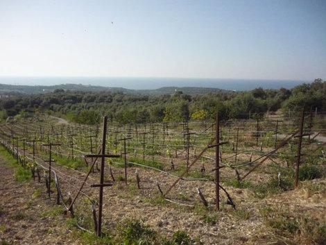 Виноградники в мае