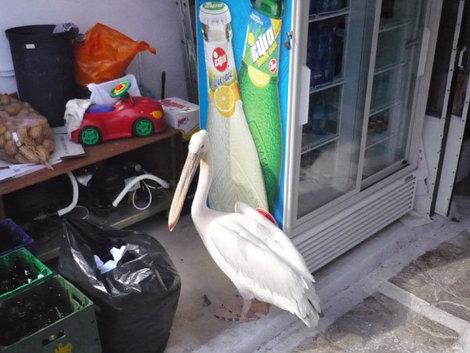Пеликаны — также достопримечательность Миконоса