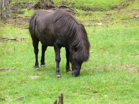 17. Тарпановидная лошадь, потомок лесных тарпанов