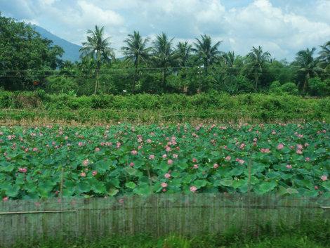 Плантация розовых лотосов