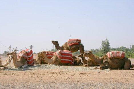 Верблюды у стен старого города