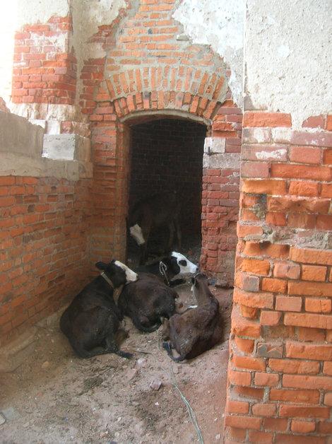 Коровы внутри первого яруса колокольни