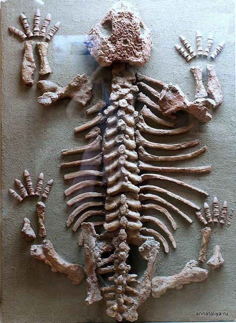 Котельнич. Палеонтологический музей. Скелет молодого парейазавра
