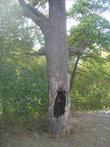 Дерево с выжженным дуплом