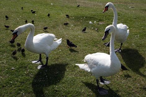 лебеди в лондонском Гайд парке