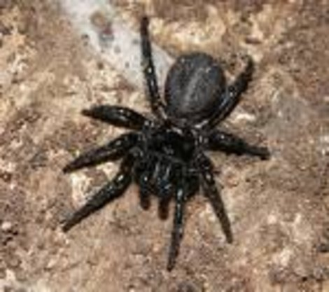 Такой устрашающий вид имеют все воронковые пауки