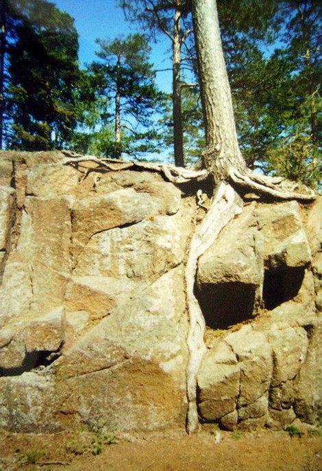 И на камнях растут деревья, продираясь корнями к живительной влаге