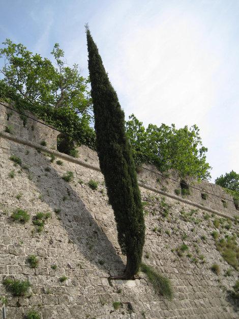 Кипарис растет прямо из стены