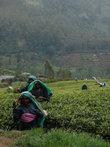 На чайных плантациях в Нувара Элия.