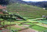 Чайные плантации. Нувара Элия.