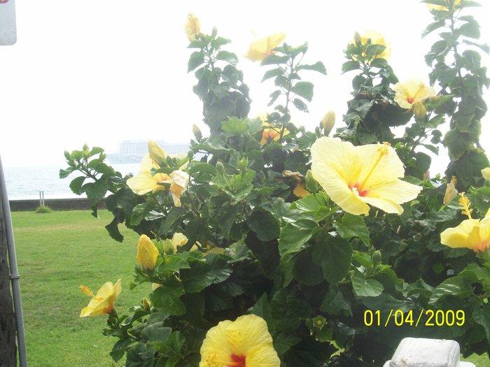 Хибискус-национальный цветок Гавайев