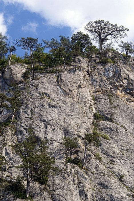 Деревья на стене Большого крымского каньона