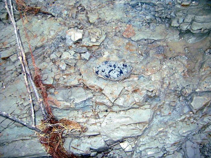 В пласте триасовых глин отчётливо видны тёмные очертания стеблей и семян плевромейи – плауновидного растения, заросли которого 230 млн. назад росли по берегам солоноватого Паршинского озера