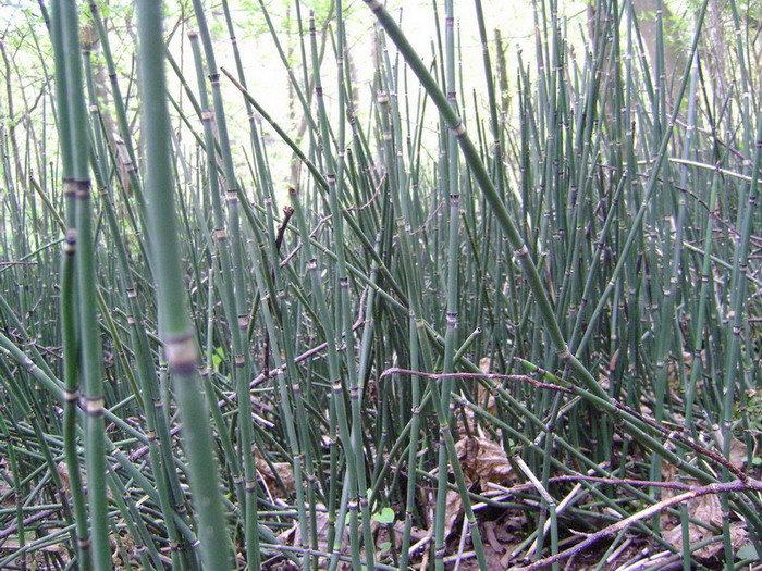 Сегодня в Тихвинском буйно разрослись хвощи — родственные плевромейе растения современной эпохи