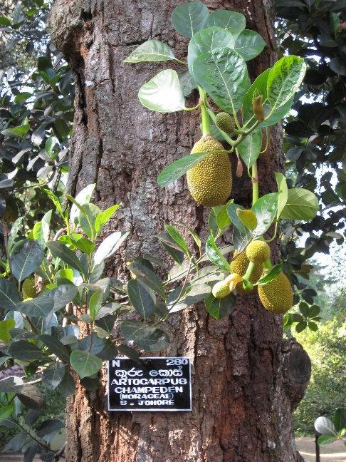 Чемпедак — фруктовое дерево семейства тутовых, близкий родственник хлебного дерева и джекфрута.