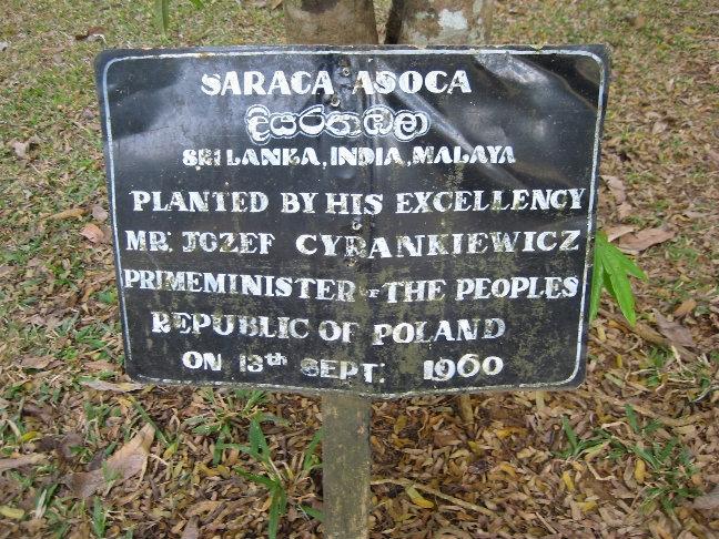 Сарака ашока — маленькое вечнозеленое дерево. Было посажено в 1960 году премьер-министром Польской республики.