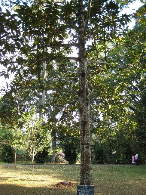 Хорсфилдия из семейства Мускатниковых  произрастает в тропических областях  Азии, Африки и Америки. Это вечнозеленое дерево было посажено президентом Мальдивов в 1984 году.