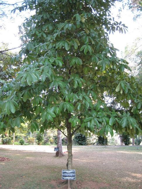 Монодора мускатная или просто мускатный орех — вечнозеленое тропическое дерево из семейства Мускатниковых высотой до 35 метров.