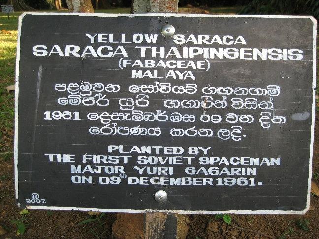 Прогуливаясь среди аллеи деревьев, посаженых знаменитыми людьми, я обнаружил дерево, посаженное в 1961 году Юрием Гагариным. Это сарака желтая.