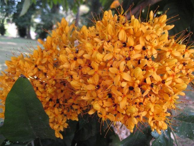 Сарака желтая