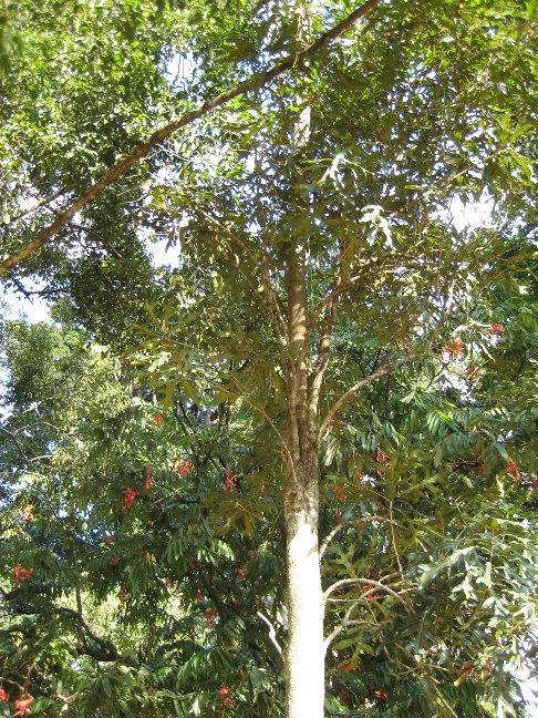 Стенокарпус выемчатый — медленнорастущее вечнозеленое дерево, в природе достигает высоты 9 метров  Происхождение: Австралия. Посажено президентом Югославии в 1959 году