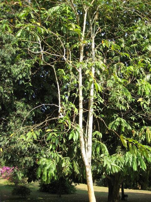 Лагерстрёмия — род растений из семейства Дербенниковые. Посажено генеральным секретарем ООН в 1967 году
