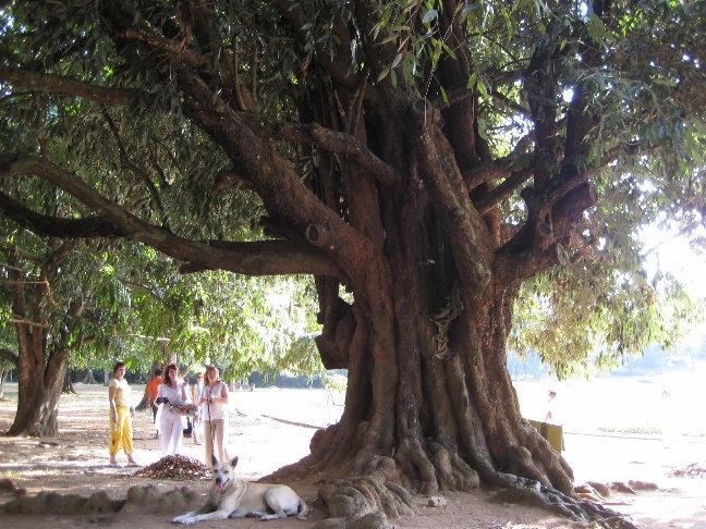 Древесина железного дерева, посаженное царем России в 1891 году, по словам некоторых гидов — самая твердая в мире.