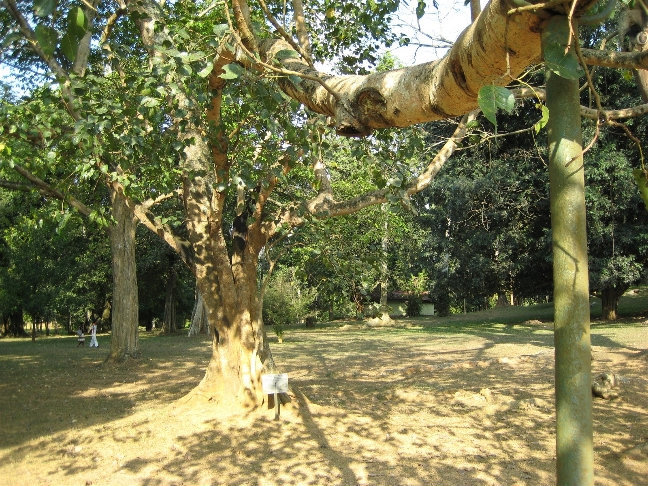 Фикус религиозный или фикус священный — (дерево «Бо» буддистов). Посажен королем Эдвардом аж в 1875 году.