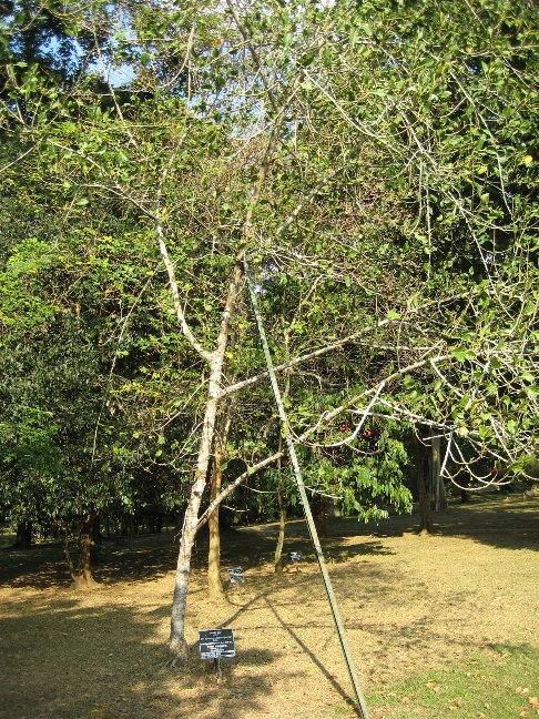 Фикус бенгальский или фикус кришны — вечнозеленое дерево, до 10 метров в высоту. Образует воздушные корни. Родина: Пакистан, Индия. Посажен королевой Елизаветой II в апреле 1954 года