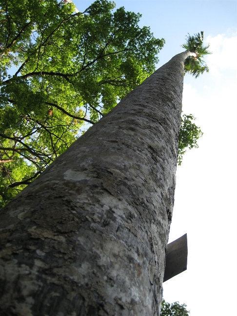 Ливистона круглолистная — растет в прибрежной зоне на песчаных почвах на острове Ява и Молуккских островах.