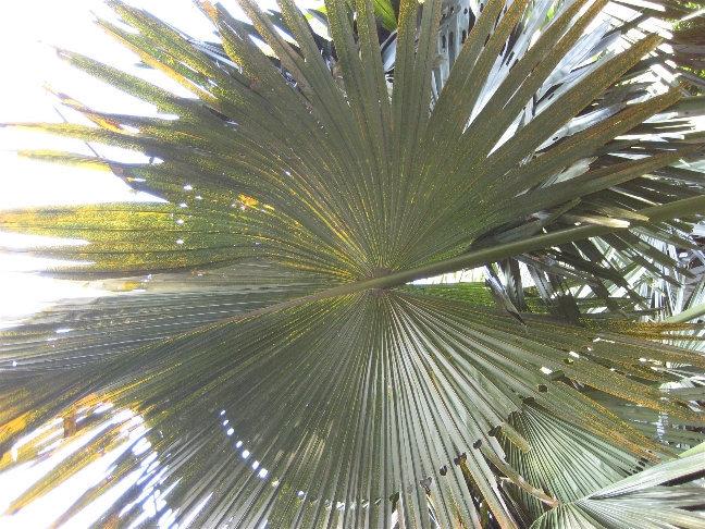 Корифа зонтичная или таллипотовая пальма.