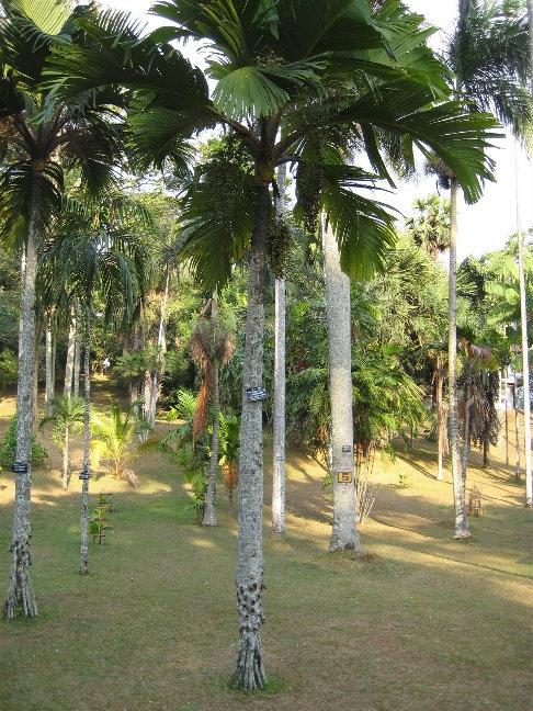 Вершафелтия блестящая из семейства Пальмовые распространена на Сейшельских островах