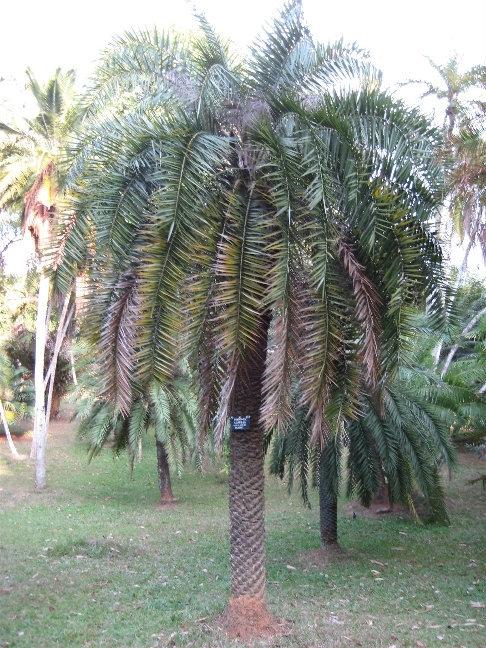 Финиковая пальма. Род Фиников включает около 17 видов пальм, растущих в тропических и субтропических районах Азии и Африки.