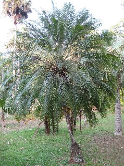Финиковая пальма Робелена или карликовая финиковая пальма из семейства пальмовых. Встречается в тропических влажных лесах Индии, Бирме, Лаосе.