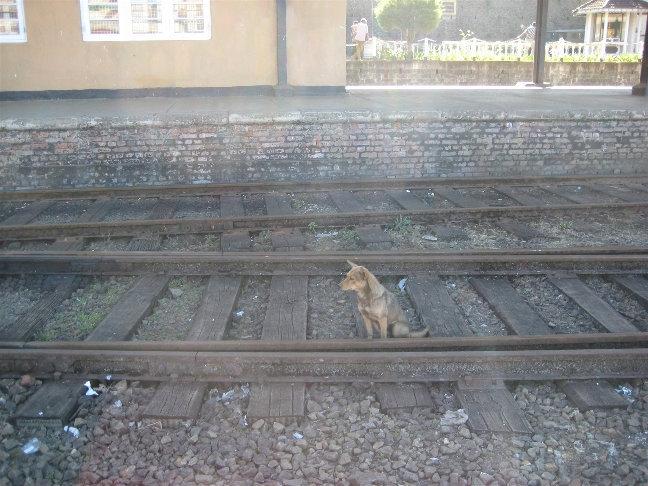 Вездесущие ланкийские собаки
