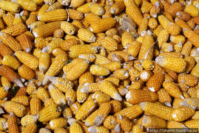 Кукуруза нового урожая
