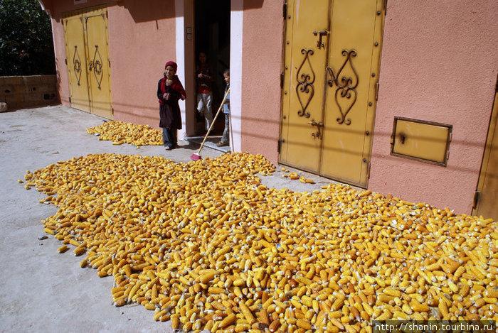 Сезон сбора кукурузы