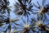 Финиковые пальмы, вид снизу