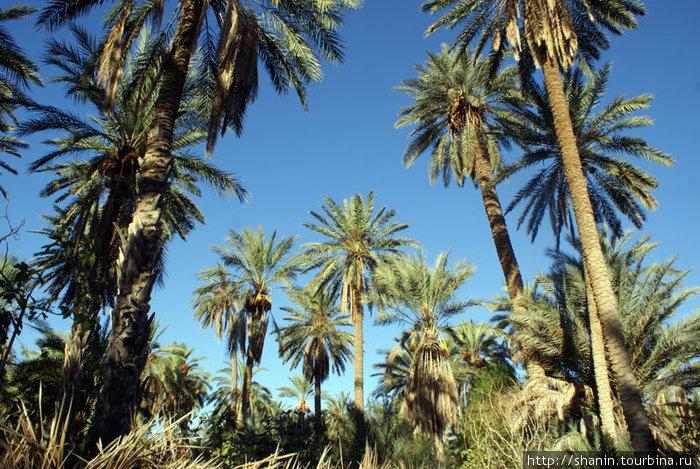 Финиковые пальмы на окраине Таузара