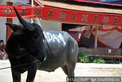 буйволы и люди Тана Тораджи