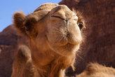 Морда верблюда