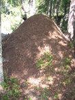 Мега-муравейник (высота около 1 м). Муравьям там хорошо