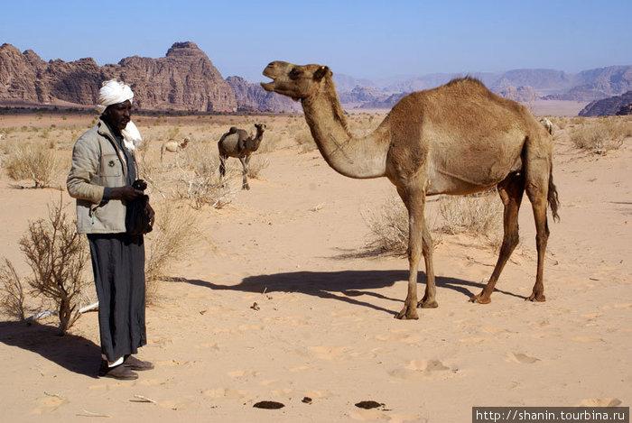 Бедуин с верблюдами